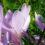 Colchicum – Herbstzeitlose