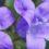 Rapunzel – Glockenblume