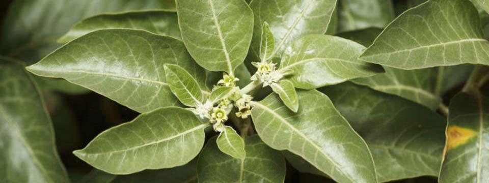 Ashwagandha – Ein natürliches Mittel gegen Stress, Ängste und Schlaflosigkeit